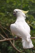 stock photo of cockatoos  - Yellow crested Cockatoo  - JPG
