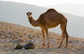 Dromedary In The Desert