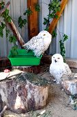 stock photo of snowy owl  - Snowy Owls in the open air at the zoo in Ukraine - JPG