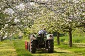 stock photo of orchard  - Tractor between flowering apple trees on a orchard meadow - JPG