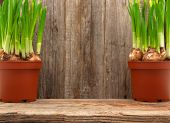 daffodils pots wooden table wall background defocused