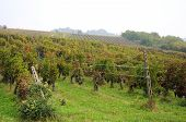 picture of moscato  - Harvest in October Oltrepo Pavese italy barbera - JPG