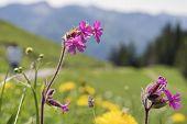 image of bavaria  - Wild flower on mountain Breitenstein in the Alps in Bavaria Germany - JPG