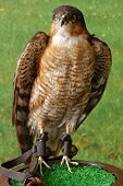 pic of falcons  - Falcon taxidermy objects exhibit animals birds theme - JPG