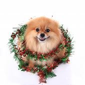 pic of christmas dog  - pomeranian dog dressed christmas decoration - JPG