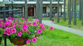 pic of petunia  - Hanging basket with a petunia flowers against a house in the pine forest - JPG