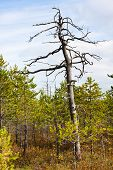 picture of swamps  - the autumn swamp with dead pine tree - JPG