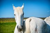 stock photo of horse face  - Pretty grey horse in a pasture standing nose to tail with a second horse looking straight at the camera with its ears back on a sunny blue sky day - JPG