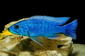 picture of freshwater fish  - Cichlid fish from lake malawi in the aquarium - JPG