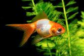 stock photo of goldfish  - White orange goldfish in aquarium with nice background - JPG