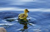 stock photo of mother goose  - The solely chick has lost his mom - JPG