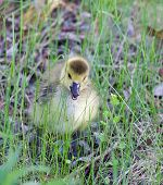 stock photo of mother goose  - Angry chick is staying in the grass - JPG