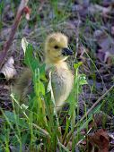 picture of mother goose  - The young goose is looking for something - JPG