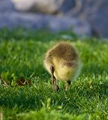 image of mother goose  - The way to the water through the field - JPG