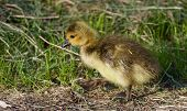 foto of mother goose  - Young chick is going somewhere through the grass - JPG