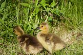 picture of mother goose  - Two cute chicks of the Canada geese - JPG