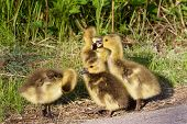 picture of mother goose  - Incompliance of the group of young cackling geese - JPG