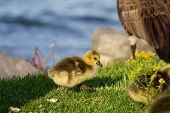 foto of mother goose  - Cute happy chick is going near the water - JPG