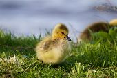 pic of mother goose  - Sly sight of a chick of the cackling geese - JPG
