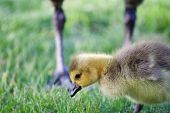 picture of mother goose  - Cute chick is under protection of its parents - JPG