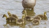 stock photo of mother goose  - Young family of the cackling geese is swimming - JPG