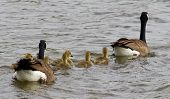 foto of mother goose  - The geese family convoy is swimming in the lake - JPG