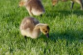 image of mother goose  - The young cackling geese on the grass - JPG