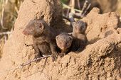 image of dwarf  - Dwarf mongoose family enjoy the safety of their burrow - JPG
