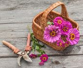 pic of zinnias  - Bouquet of zinnias in a basket next to a secateurs - JPG