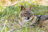 foto of jackal  - European golden jackal  - JPG