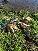 pic of fishermen  - Freshly caught perch - JPG