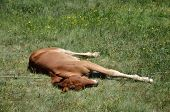 pic of foal  - Young foal lying on a green meadow