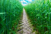 picture of track field  - Close up of tire track from big vehicle in green wheat field - JPG