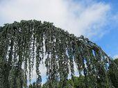 stock photo of weeping  - Branch of a Weeping Blue Atlas Cedar tree - JPG