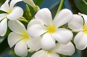 pic of plumeria flower  - White and yellow Plumeria spp - JPG