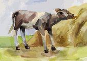 image of calf  - rustic watercolor illustration of a calf eating hay - JPG