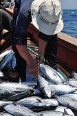stock photo of catching fish  - A bumper catch of tuna fish in the sea - JPG