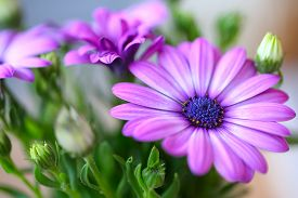 image of extreme close-up  - Vibrant beautiful purple daisies. Extreme close up ** Note: Shallow depth of field - JPG
