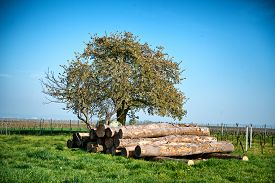 image of logging truck  - Felled tree trunks in a vineyard stacked neatly under a tree waiting for collection by a logging truck - JPG
