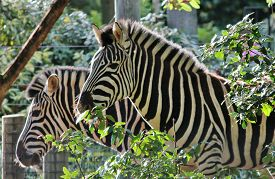 picture of zoo  - Striped Black and white zebra at zoo  - JPG