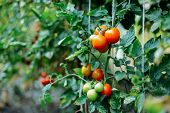 Vegetable Garden With Plants Of Red Tomatoes. Ripe Tomatoes On A poster