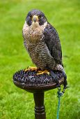 Peregrine falcon from the front