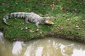 Crocodile On Grass