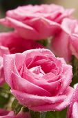 stock photo of pink rose  - Close - JPG