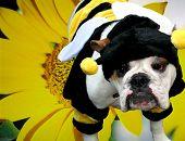 Bulldog Bee With Sunflower Background