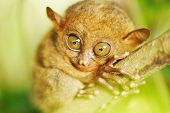 Tarsier monkey in natural environment