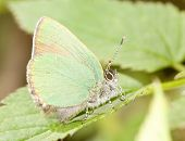 small green copper-butterfly on green leaf