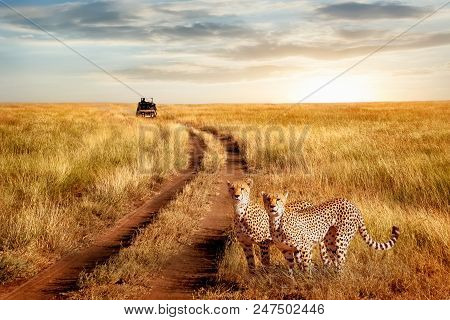 Group Of Cheetah In The