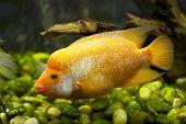 Peixe dourado em um ciclídeo de golfinho de aquário