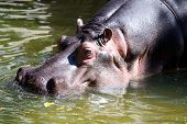 Hippopotamus Walking Through Water